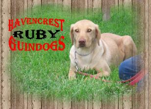 Labrador Retriever Ruby